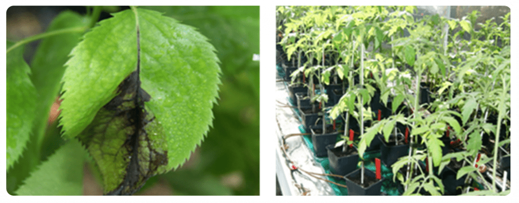 Assajos d'eficàcia en plantes en condicions controlades