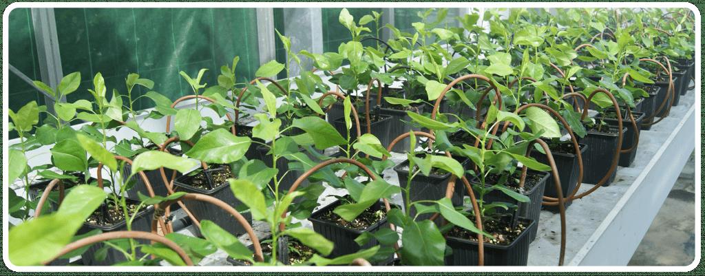 Prova d'eficacia en plantes