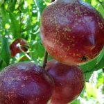 Pepsysfruit - Cidsav